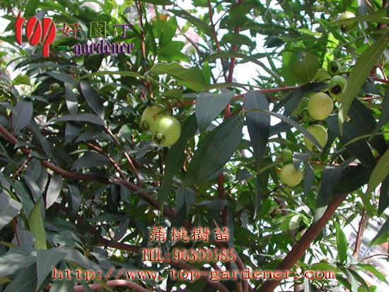水果,生果,果树,果子,果实,果苗,蒲桃树苗
